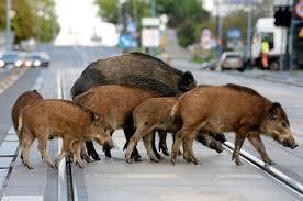 Rome envahie par des sangliers